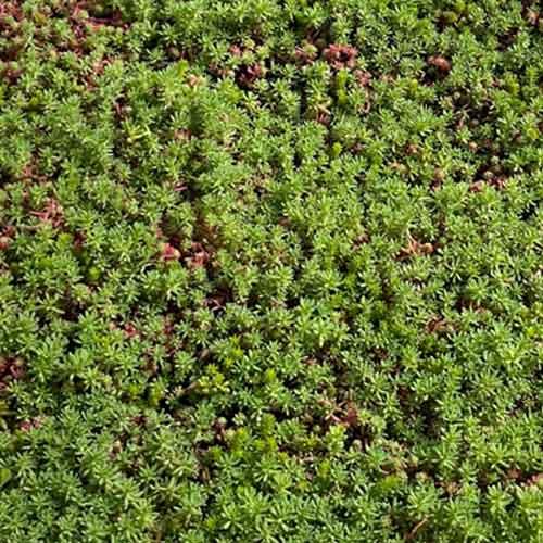 Sédum en bac pour végétalisation toiture - Acheter au meilleur prix